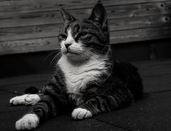 Cat (danielle_lambrechts) Tags: cat cats animal animals pet pets