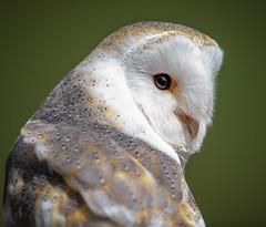 Beautiful Barn Owl (Paul_Collins53) Tags: beautiful barn owl international centre birds prey nikon d850