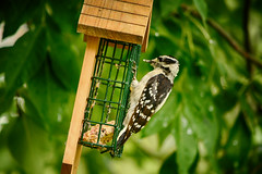 Snack House (flashfix) Tags: july252018 2018inphotos ottawa ontario canada nikond7100 55mm300mm woodpecker downywoodpecker birdphotography nature mothernature backyardphotography bokeh tree flashfix flashfixphotography green