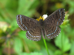 Charis anius (Over 4 million views!) Tags: butterfly charisanius panama riodinidae butterflies insect