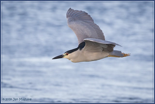Black-crowned Night Heron Cruising 9341