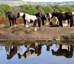 Horses reflecting on things. (Strategic Reserve Films - Rory Lushman) Tags: church churchkirk accrington leedsliverpoolcanal hyndburn horses reflections