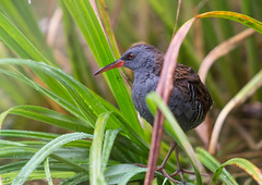 Water Rail (ian._harris) Tags: naturaleza sigma d7200 natural nature naturephotography 500f45 nikon fowlmere flickr july sommer colours