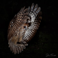 Tawny Owl (Wild) (Mr F1) Tags: wild tawnyowl strixaluco johnfanning nature outdoors wildlife bop birdsofprey flight shot wings wales woodland welsh forest night nightphotography dark dusk approach land talons eyes feathers light lighting