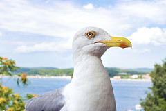 The bird is the word! 🐦 (Jeff Camphens) Tags: bird animal seagull gull macro closeup fly flying rovinj croatia detail 35mm nikon d3300