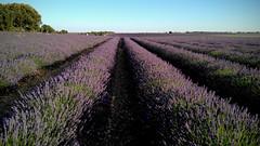 Lavanda fields (Ca'mont) Tags: lavanda fields guadalajara brihuega