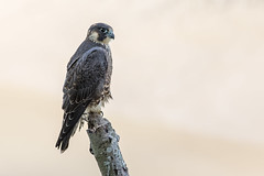 Peregrine falcon (cliveyjones) Tags: peregrinefalcon peregrine