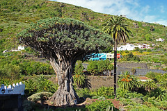 El Drago #4 (Gy:A ( attilafoto.hu )) Tags: tenerife eldrago dragontree photo attilafoto canarians canaryislands atlanticocean spring