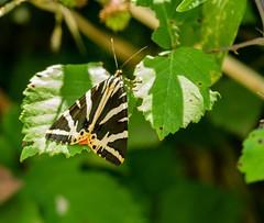 20180713-031_Papillon (jeanpierrelory) Tags: petitecamargue saintchamas