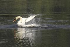 Swan Show(er) / Schwanendusche (Manfred_H.) Tags: nature tiere animals vögel birds wasservögel swans schwan white swan höckerschwan