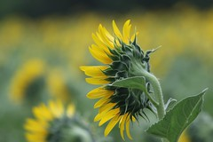 Sunflower (seiji2012) Tags: 立川市 昭和記念公園 接写 ボケ 向日葵 blur bokeh macro