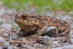 Kröte (michaelmueller410) Tags: toad kröte erdkröte bufo closeup natur nature harz animal tier wild wildlife