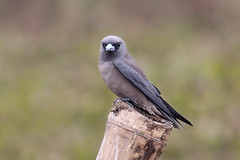 Ashy Wood Swallow (A t i k R a h m a n) Tags: ashy wood swallow birds bangladeshbirds wildlifephotography