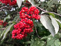 rote Beeren (VenusTraum) Tags: rot beeren red