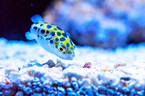 Green spotted pufferfish (Zebrasoma flavescens) of Sumida Aquarium in Tokyo Sky Tree Town : ミドリフグ(緑河豚、東京スカイツリータウン・すみだ水族館)