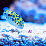 Green spotted pufferfish (Zebrasoma flavescens) of Sumida Aquarium in Tokyo Sky Tree Town : ミドリフグ(緑河豚、東京スカイツリータウン・すみだ水族館) thumbnail