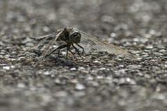 In the heat of the day (Nederland in foto's) Tags: nederland netherlands nederlandinfotos nikon pdvandevelde padagudaloma paulvandevelde natuurfotografie nature naturephotographer insect dragonfly libelle animal