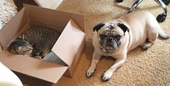 This is NOT the puppy I ordered (JennFL2) Tags: cat cardboard box pug dog chilling pets