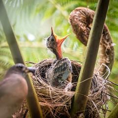 DSC_4532-Edit-2 (craigchaddock) Tags: americanrobin australiantreefern sandiegozoo turdusmigratorius chick fern
