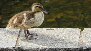 BABY DUCKIE