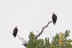 July 29, 2018 - A pair of Bald Eagles hangs out in Adams County. (Tony's Takes)