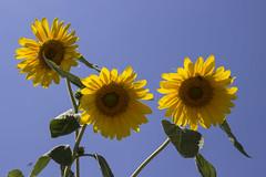 Sunflowers (dibogrs) Tags: canon canon600d farmer