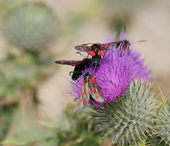 Six spotted Burnet moth (yvonnepay615) Tags: panasonic lumix gh4 nature moths nwt norfolkwildlifetrust cleymarshes norfolk eastanglia uk