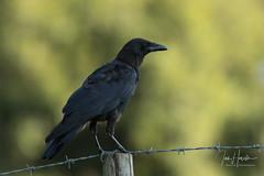 Carrion crow (Ian howells wildlife photography) Tags: ianhowells ianhowellswildlifephotography nature naturephotography unitedkingdom wildlife wildlifephotography wild wildbird carrion crow
