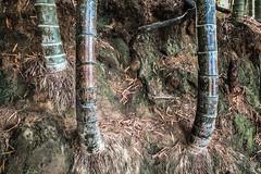 Of this group (Melissa Maples) Tags: batumi batum ბათუმი adjara აჭარა georgia gürcistan sakartvelo საქართველო asia 土耳其 apple iphone iphonex cameraphone მწვანეკეპი mtsvanecape ბოტანიკურიბაღი botanicalgarden bamboo trees forest