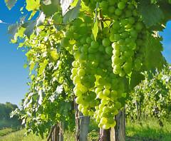 Cómo conocieron las uvas  la propaganda del racimo?  - Neruda (Lewitus) Tags: food neruda hungary grapes