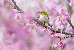Pretty in pink. メジロ (okiox) Tags: mejiro white eye bird animal fauna avian resident common sakura メジロ cherry asia spring february zakimi nikon 300mm28 okinawa japan sparrow warbler green
