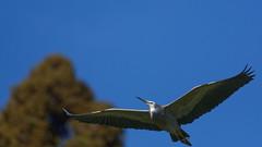 Blue heron (also known as white faced heron) (DanD_NZ) Tags: birds newzealand nikond500 nikkor200500mmf56 blueheron whitefacedheron hamilton