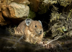 Pika (Angie Vogel Nature Photography) Tags: pika rodent animal wildlife mammal northcascades