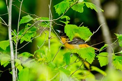 2017 Baltimore Oriole 3 (DrLensCap) Tags: egret trail horicon marsh national wildlife refuge waupun wisconsin baltimore oriole wi bird robert kramer