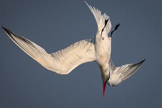 Elegant tern's elegant dive