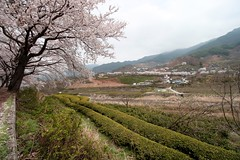 3Road1023_5901 (revinhart) Tags: southkorea spring hadong road1023