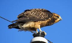 Young Swainson's Hawk (Patricia Henschen) Tags: alamosa colorado wetland nationalwildliferefuge sanluisvalley bird hawk swainsons swainsonshawk alamosanationalwildliferefuge rural roadside countryside