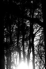 180426 Bluebells-0111 (whitbywoof) Tags: sun backlight trees mono black white silhouette
