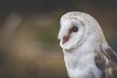 221/365 - Barn Owl