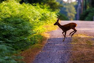 Chevreuil : chevrette - Phalempin - Roe deer