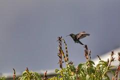 (fabhuleux) Tags: 6d canon hummingbird oiseau france antilles martinique street nature colibri
