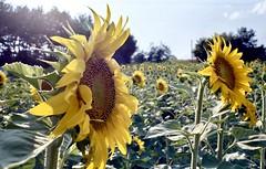 Sunflowers (michele.palombi) Tags: sunflowers tuscany chiusdino film 35mm kodak portra160asa summer 2018