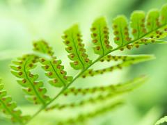 fern (wundoroo) Tags: nybg newyorkbotanicalgarden bronx newyork summer august nativeplantgarden fern frond leaf sori