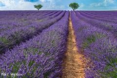 Lavandin en fleur (MarcEnGalerie) Tags: flowers lavande lavender fleurs valensole provence france fra