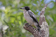Grey Butcherbird (Alan Gutsell) Tags: birds birding queenslandbirds queensland wildlife naturephoto alan wetlands australian aussie grey butcherbird gray