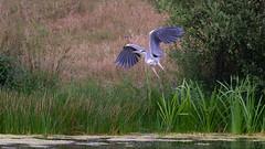 Grey Heron - emerging from the reeds (Tony McLean) Tags: ©2018tonymclean tophilllow eastyorkshire naturephotography wildlifephotography nikond4 nikon500f4gvr greyheron