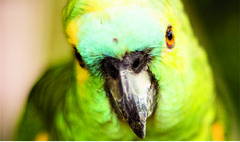 Parakeet (natelanephotography) Tags: bird parrot animal beak parakeet wildlife feather fauna nature colorful portrait sitting one eye yellow closeup small commonpetparakeet looking noperson colored zoo macrophotography front tropical standing camera avian head outdoors perico face wild cockatiel wing perched exotic different color little cute close eyes fruit