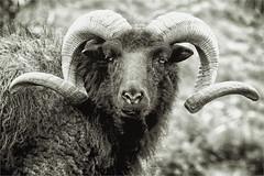 Hebridean Sheep (Petefromstaffs) Tags: hebrideansheep blackandwhite bw sheep farm animal horns