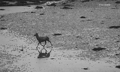 Stag on beach at dawn (MabelDuster) Tags: seascape landscape red deer stag bw grimsay outer hebrides scotland beach low tide