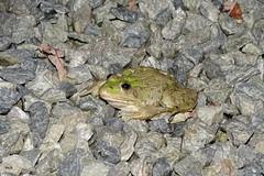 A défaut d'éclipse, je vous présente le crapaud-grenouille en balade dans ma cour (mchub) Tags: crapaud grenouille amphibien batracien hx400v